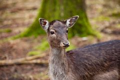 Portrait of Female Deer in a beautiful forest Germany. Portrait of Female Deer in a beautiful forest in Germany royalty free stock photos