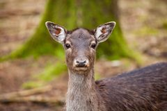 Portrait of Female Deer in a beautiful forest Germany. Portrait of Female Deer in a beautiful forest in Germany stock photo