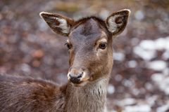 Portrait of Female Deer in a beautiful forest Germany. Portrait of Female Deer in a beautiful forest  in Germany stock images