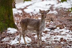 Portrait of Female Deer in a beautiful forest Germany. Portrait of Female Deer in a beautiful forest  in Germany royalty free stock images