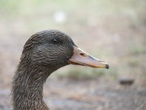 Portrait of a female duck. Female duck looking at you Stock Image