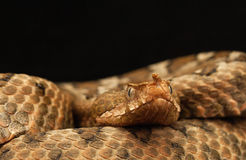 Portrait of a female Eastern sand viper Royalty Free Stock Images