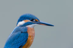 Portrait of a female eurasian kingfisher Alcedo atthis Stock Images