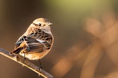 Portrait of female European stonechat Saxicola rubicola royalty free stock photography