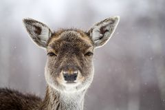 Deer in wintertime. Portrait of a female of fallow deer in the snow Royalty Free Stock Photography