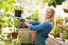 Portrait of female gardener holding flowering plant. Portrait of happy female gardener holding potted flowering plant at greenhouse Stock Photo