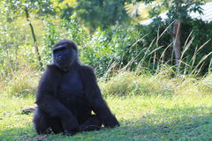 Portrait of female gorilla Stock Image