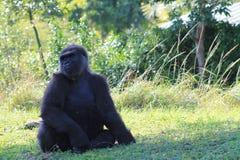 Portrait of female gorilla Stock Image