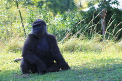 Portrait of female gorilla Royalty Free Stock Photography