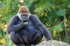 Portrait female gorilla eating Stock Photo