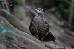 Portrait of female  Grey Peacock-Pheasant Royalty Free Stock Image