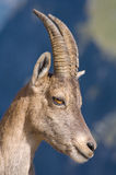 Portrait of a female Ibex. A portrait of the the head of a female Ibex or goat Stock Images