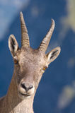 Portrait of female ibex. Portrait of female goat or ibex with horns; blue sky and cloudscape background Stock Images