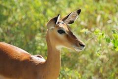 Portrait of female impala Stock Photos