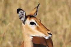 Portrait of female impala Royalty Free Stock Image