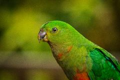Portrait of a female king parrot royalty free stock photography