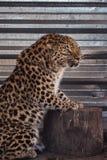 Portrait of the leopard Stock Images