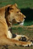 Portrait of a female lion Stock Photos