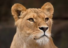 Portrait of a female lion Royalty Free Stock Images