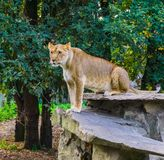 Portrait of a female lion sitting on a rock, tropical wild cat from Africa, Vulnerable animal specie. A portrait of a female lion sitting on a rock, tropical royalty free stock photography