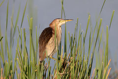 Portrait female little bittern in early morning light Royalty Free Stock Photos