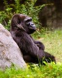 Portrait of female lowland gorilla Stock Images