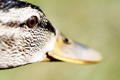 Female of the Mallard Duck. Portrait of the female of the Mallard Duck Stock Photos
