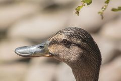 Portrait of female mallard duck. Anas platyrhynchos inhabits a variety of wetlands, river springs, freshwater and saltwater basins Royalty Free Stock Photography