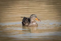 Female mallard on a lake. Portrait of a female mallard on a lake looking at photographer stock photo