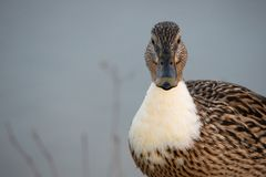 Portrait of a female mallard with white chest. Hybrid form Stock Photos