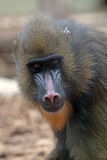 Portrait of a female mandrill Stock Images