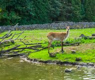 Portrait of a female marsh deer standing at the water side, vulnerable animal specie from America. A portrait of a female marsh deer standing at the water side royalty free stock photos