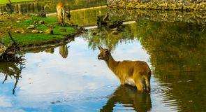Portrait of a female marsh deer standing in the water, Vulnerable animal specie from America. A portrait of a female marsh deer standing in the water, Vulnerable royalty free stock images