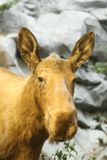 Portrait of female Moose. Outdoors with rocks in background royalty free stock image