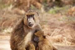 Female Olive baboon with cub in Kenyan savannah royalty free stock image