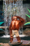 Portrait of a Female Orangutan Stock Image