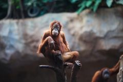 Portrait of female orangutan Royalty Free Stock Photos