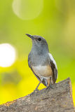 Portrait of female Oriental Magpie Robin Stock Photography