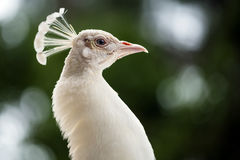Portrait of female peahen Royalty Free Stock Image