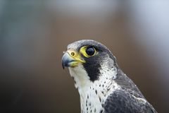 A portrait of a Female Peregrine falcon Falco peregrinus caught in Germany for ringing. stock photo
