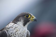 A portrait of a Female Peregrine falcon Falco peregrinus caught in Germany for ringing. stock images