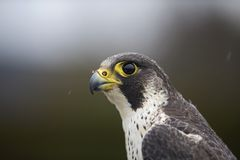 A portrait of a Female Peregrine falcon Falco peregrinus caught in Germany for ringing. royalty free stock photo