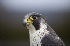 A portrait of a Female Peregrine falcon Falco peregrinus caught in Germany for ringing. stock image