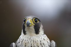 A portrait of a Female Peregrine falcon Falco peregrinus caught in Germany for ringing. stock photos