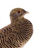 Portrait female pheasant gold stock image