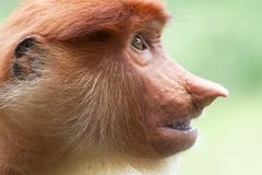 Portrait of Female Proboscis Monkey Nasalis larvatus