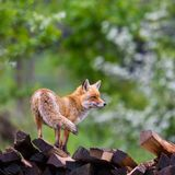 Portrait female red fox vulpes on wood stack stock photo