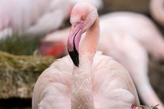 Portrait of female Rosy Flamingo, Phoenicopterus ruber roseus, Stock Image