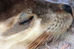 Portrait on a female Sea Lion  in Seal Bay , Kangaroo Island Australia Royalty Free Stock Photography