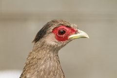 Portrait of a female silver pheasant Stock Photography